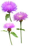 Milk thistle Cirsium Stock Photo