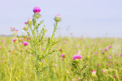 Milk thistle Royalty Free Stock Photography