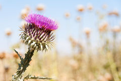 Milk thistle flower Royalty Free Stock Images