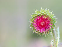 Milk Thistle flower Stock Image