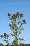 Milk thistle flower Royalty Free Stock Photography