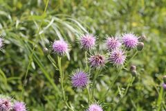 Milk thistle flowers front cover of magazine or billboard. The Milk thistle flower is a famous herb flower used in the health industry to cleanse your liver royalty free stock image
