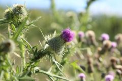 Milk thistle flower garden, front cover of magazine or billboard. The Milk thistle flower is a famous herb flower used in the health industry to cleanse your stock photos