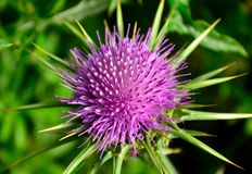 Milk thistle flower. Flower head of milk thistle, medicinal wild plant, silybum marianum Royalty Free Stock Images