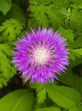 Milk Thistle Flower. Milk Thistle. Pink Milk Thistle Flower, Close Up, Shallow Dof Stock Photo