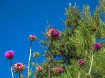Milk thistle flower Stock Images