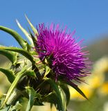 Magnificent flowerhead of silybum marianum