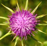Magnificent flowerhead of Milk thistle