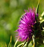 Colorful milk thistle flower with sweet pollen. Milk thistle flower silybum marianum in full bloom on unfocused natural background Stock Photos