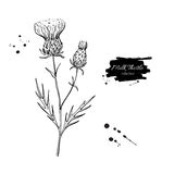 Milk thistle flower vector drawing set. Isolated wild plant and leaves. Herbal engraved style Stock Photo