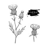 Milk thistle flower vector drawing set. Isolated wild plant and leaves. Herbal engraved style illustration. Milk thistle flower vector drawing set. Isolated Stock Photos