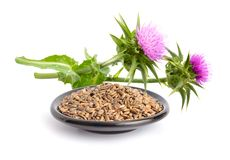 Milk thistle flowers with seeds. royalty free stock photos