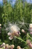 Milk thistle fluff seeds and flowers, front cover of magazine or billboard. The Milk thistle flower is a famous herb flower used in the health industry to royalty free stock photography