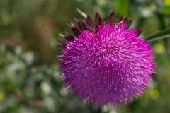 Milk Thistle. Is a herb. It can be used like extract or for tea Royalty Free Stock Image