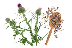 Milk Thistle Herb Stock Image