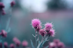 Milk Thistle is a medicinal plant. Milk Thistle is common in the southern regions of the European part of Russia, the Caucasus and Western Siberia, is a plant up stock photo