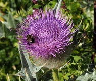 Milk Thistle plant Silybum marianum herbal remedy. Scotch , Cardus marianus with bumblebee Royalty Free Stock Photo
