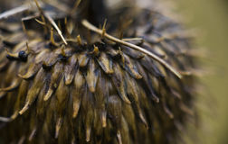 Milk Thistle Seed Pods. Macro. 25mm long seed pods from a common Milk Thistle Seed Pods. UK royalty free stock image