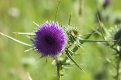 Milk Thistle - Silybum Royalty Free Stock Photo