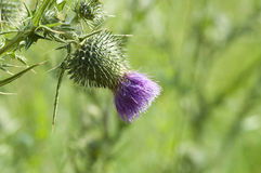 Milk Thistle - Silybum Royalty Free Stock Image