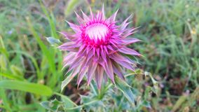 Milk thistle. Summer time bloom Stock Image
