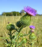 Milk thistle thistle Royalty Free Stock Images