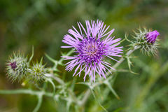 Milk thistle Stock Photos