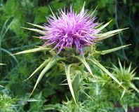 Milk thistle Royalty Free Stock Images