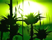 Milk thistles backlit with green color effects at sunrise Royalty Free Stock Image