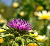Flowerhead of milk thistle on  background of daisies Royalty Free Stock Photo