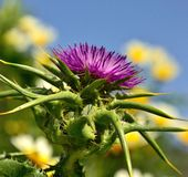 Colorful flowerhead of milk thistle in full splendor