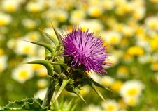 Milk thistle on unfocused background of daisies