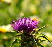 Milk thistle on unfocused background Royalty Free Stock Photo