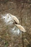 Milk Weed. With seeds ready to fly away Royalty Free Stock Photos