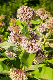 Milk Weed Flowers Royalty Free Stock Image