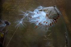 Milk Weed Pod seeds blowing in the wind. Milk weed pod that is blowing in the wind.  Pod has recently burst, the bright white and seed pods are prominently Stock Images