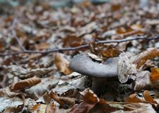 Milkcap Rufous, fungo di rufus del Lactarius Immagine Stock