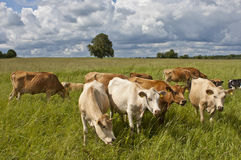Milkcows no local de pastagem Fotos de Stock