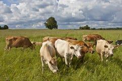 Milkcows op weiland Stock Foto's
