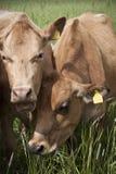 Milkcows on pastureland. Located in Estonia. Photo taken in June stock photo