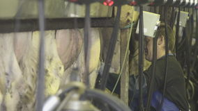 Milker purifies water jet milking machine and installs them on cow.