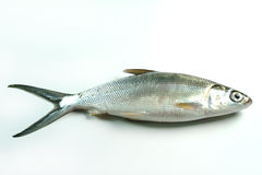 Milkfish (Chanos chanos) Stock Photo