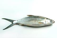 Milkfish (chanos de chanos) Photo stock