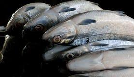 Milkfish. (Bangus) Royalty Free Stock Image
