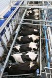 Milking Stock Photos