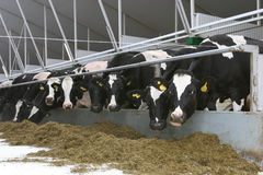 Milking Stock Photography