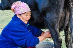 Milking of black cow in Kyrgyzstan Stock Image