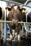 Milking cow Stock Images