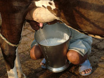 Milking a cow with hands Stock Image