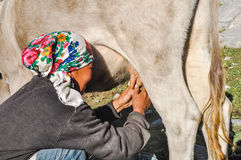 Milking of cow in Kyrgyzstan. Arslanbob, Kyrgyzstan - circa July 2011: Native woman with colourful headcloth milks cow in Arslanbob, Kyrgyzstan. Documentary Royalty Free Stock Image